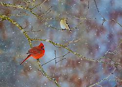 Male_Cardinal_Snow_Storm.jpg