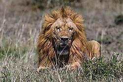 Male_Lion_1_of_1_.jpg