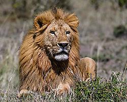 Male_Lion_1_of_5_.jpg
