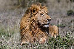 Male_Lion_2_of_5_.jpg