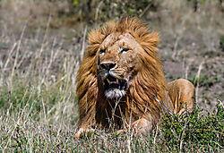 Male_Lion_3_of_5_.jpg