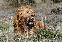 Male_Lion_5_of_5_.jpg