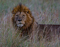 Male_Lion_Masai_Mara_151021.jpg