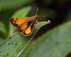 Male_Zabulon_Skipper.jpg
