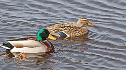 Mallards_Swimming.jpg