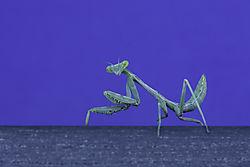 Mantis1Med.jpg