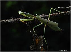 Mantis2aa_8-29-10.jpg