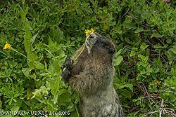 Marmot_on_Rainier.jpg