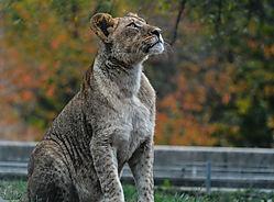 Maryland_Zoo_-_Lion.jpg