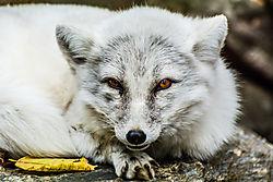 Maryland_Zoo_-_Wolf.jpg