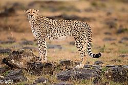 Masai_Mara-5266-Edit.jpg