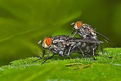 Mating_Flies.jpg