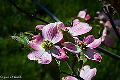 Mature_Dogwood_Blossoms-5.jpg