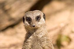 Meerkat11.jpg