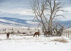 Merrit_horses_in_December.jpg