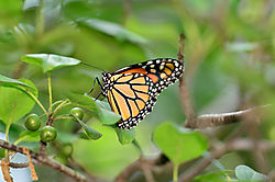 MonarchButterfly1.jpg
