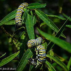 Monarch_Butterfly_Larvae_-_Catapillars-2.jpg