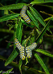 Monarch_Butterfly_Larvae_-_Catapillars-8.jpg