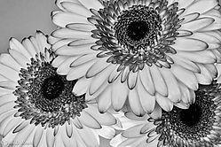 Monochrome_Daisies.jpg