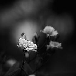 Monochrome_Rose.jpg