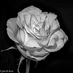 Monochrome_Rose_-_IR.jpg