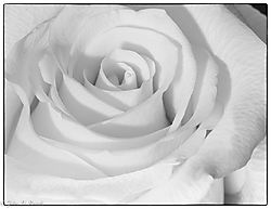 Monochrome_Rose_in_February.jpg