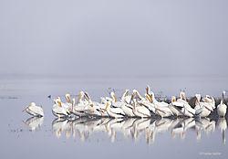 Morning_Reflection_-_White_Pelicans_San_Joaquin_Valley_copy.jpg