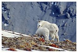 MountainGoatsOTT05-0432.jpg