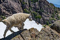 Mountain_goat_on_Elinor.jpg