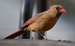 Ms_Cardinal_7665.jpg