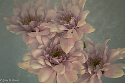 Mums_in_filtered_light.jpg