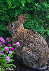 Munching_Rabbit-2.jpg