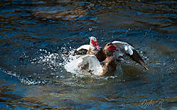 Muscovy_Ducks_Fighting-11.jpg