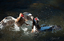 Muscovy_Ducks_Fighting-12.jpg