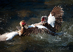 Muscovy_Ducks_Fighting-13.jpg