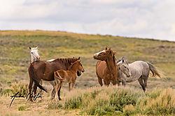 Mustang_group_Sand_Wash_Basin_Colorado.jpg