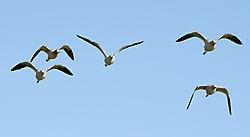N6777_avocet_in_flight.jpg