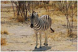N_Etosha_Zebra.JPG