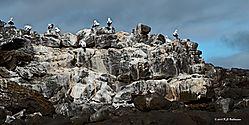 Nasca-Boobies-on-San-Christobal-Island-PPW.jpg