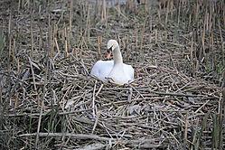 Nesting_Swan.jpg