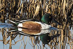 NorthernShoveler_DHR4596.jpg