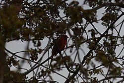 Northern_Cardinal_05.jpg