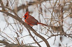 Northern_Cardinal_1_112914.JPG