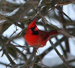 Northern_Cardinal_1_Cropped_1_of_1_.jpg