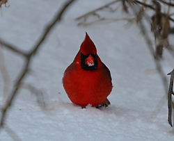 Northern_Cardinal_2_Cropped_1_of_1_.jpg