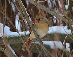 Northern_Cardinal_Female_Cropped_1_of_1_.jpg