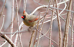 Northern_Cardinal_Female_The_Bronx_.jpg