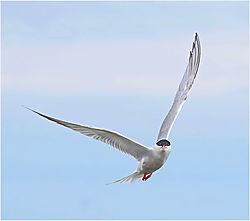 Now-Tern-Toward-the-Camera_John-Straub_.jpg