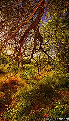 Oak_tree_lighting.jpg