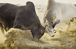 Oman_Bullfight_002.jpg